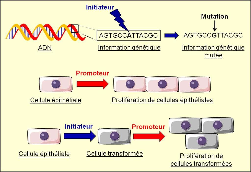 Figure 6. Mode d'action schématique des initiateurs et des promoteurs de tumeurs. Un initiateur modifie l'information génétique et il est capable de transformer une cellule saine. Un promoteur de tumeur ne transforme pas une cellule, il stimule la progression de l'oncogenèse s'il exerce son action (dans cet exemple, une stimulation de la prolifération cellulaire) sur des cellules qui ont déjà initié l'oncogenèse. © Grégory Ségala