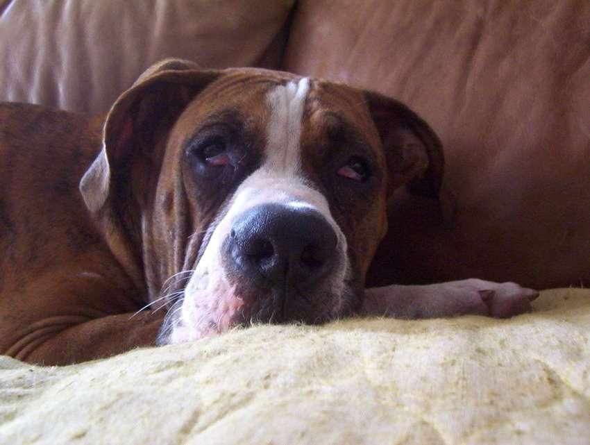 Le coronavirus canin entérique (CCoV) entraîne des troubles le plus souvent bénins chez le chien. © Vance Reeser, Flickr