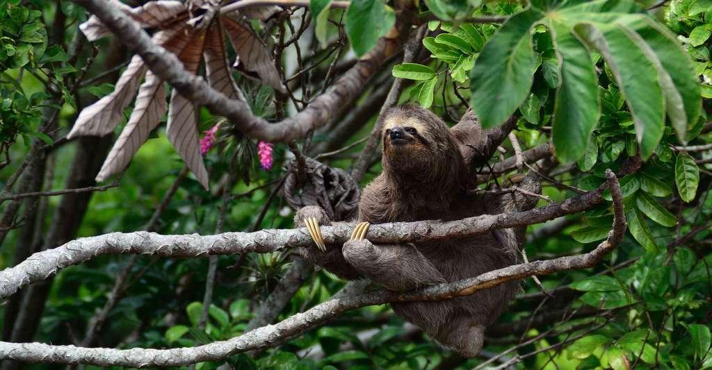 Paresseux mammifère arboricole d'Amérique tropicale. © Unsplash, Pixabay, DP