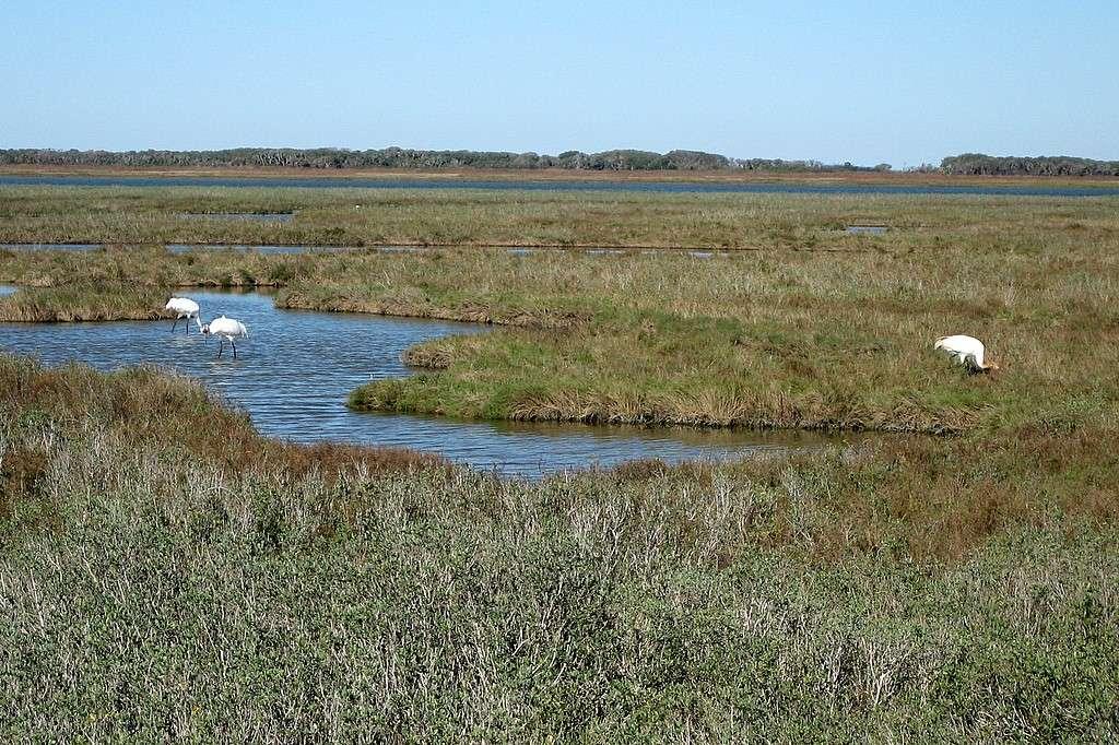 Habitat type des grues blanches dans le refuge faunique national d'Aransas au Texas. © Lance and Erin, CC BY-NC-ND 2.0
