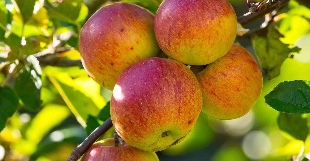 Pommes de Reinette. © Bengt Nyman, Wikimedia Commons, CC by-sa 4.0