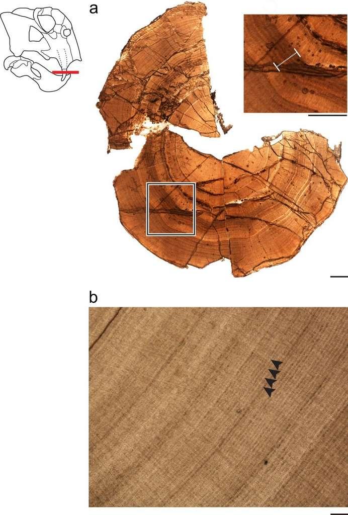 Les chercheurs ont réalisé une coupe transversale de la défense fossilisée d'un Lystrosaurus pour y analyser les cernes de croissance. Le carré (image du haut) montre un endroit où les cernes sont épais et rapprochés, signe d'un stress métabolique pouvant correspondre à une torpeur. L'image b montre des cernes de croissance régulière en absence de stress, entre chaque cerne, la dentine pousse. © Megan R. Whitney, Communications Biology 2020