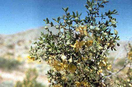 Un créosotier (Larrea tridentata). Source Commons