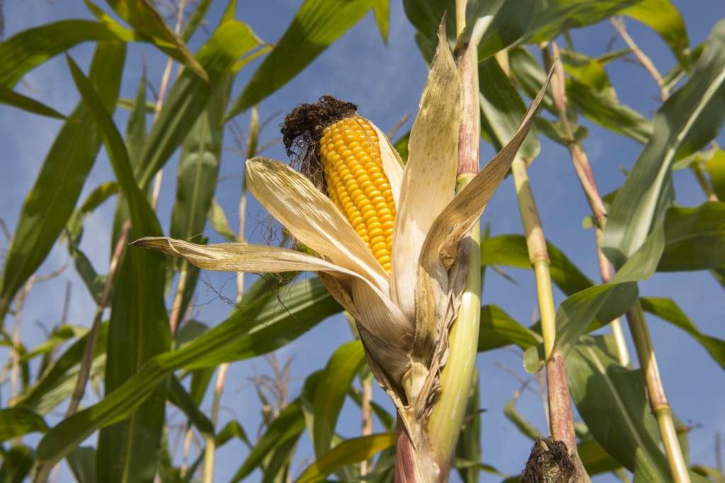 Les premiers essais d'Insect Allies ont été menés avec succès sur du maïs. © K. Thalhofer - Fotolia.com