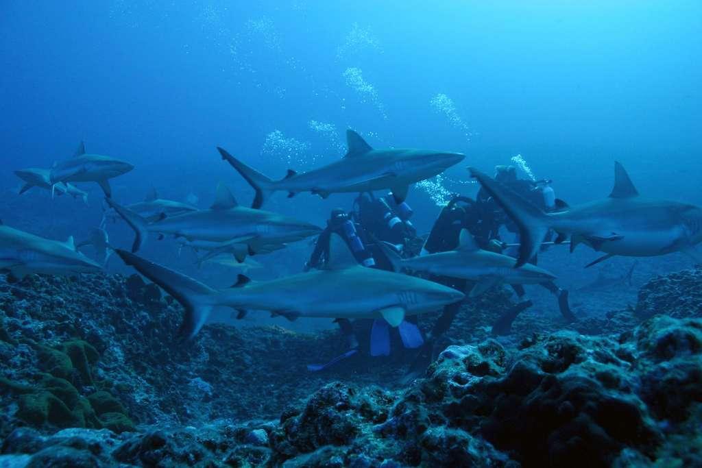 Une plongée parmi les requins