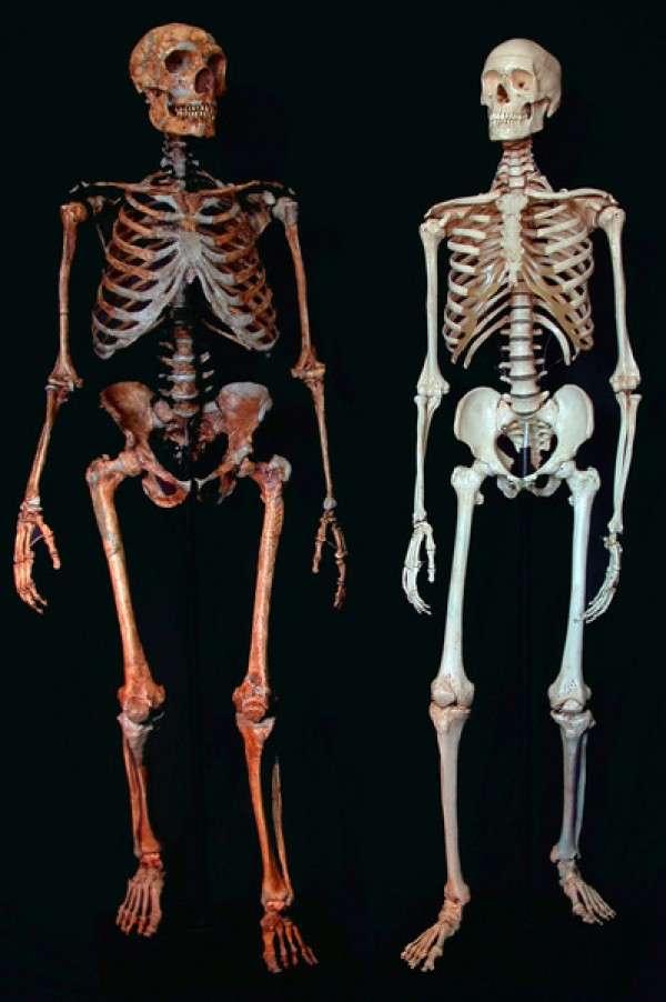 Néandertal (à gauche) était plus grand et imposant que son cousin moderne (à droite), qui lui a pourtant survécu. Non sans porter quelques traces d'une hybridation passée. © Ian Tattersall