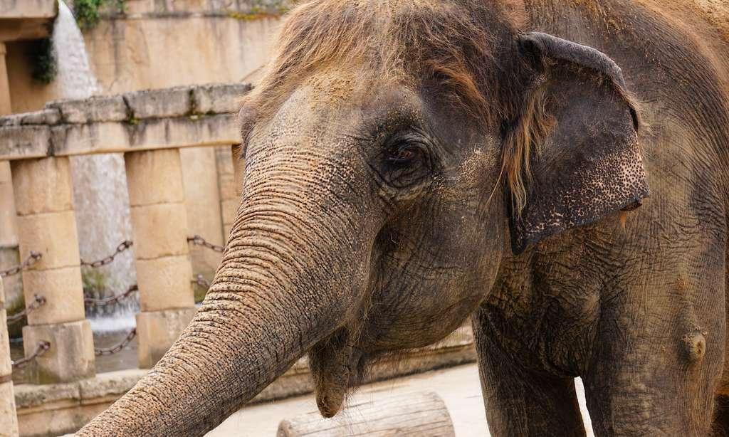 Éléphants d'Afrique et éléphants d'Asie (ici en photo) sont des espèces différentes. Ils ne peuvent pas se reproduire entre eux. D'ailleurs, l'éléphant d'Afrique compte 20 vertèbres alors que l'éléphant d'Asie en a 21! © kirahoffmann, Pixabay, CC0 Public Domain