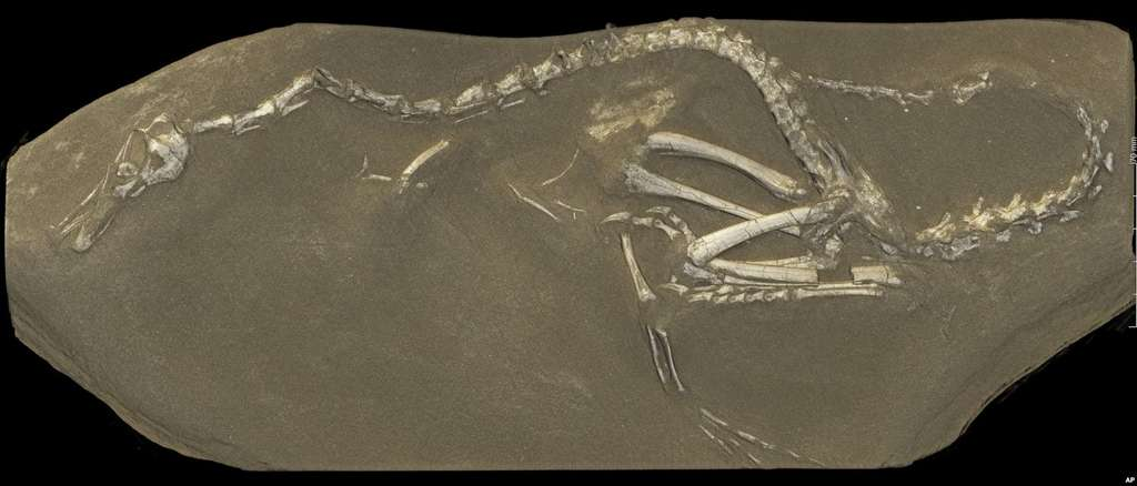 Une image de synthèse en 3D des restes fossilisés d'Halszkaraptor escuilliei calculé à partir des données prises à l'ESRF. © ESRF, Paul Tafforeau