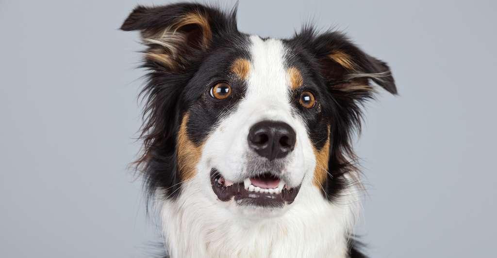 Le border collie est réputé être le chien le plus intelligent du monde. L'un d'entre eux serait même capable d'identifier 1.022 mots et présenterait l'intelligence d'un enfant de 3 ans. © Ysbrand Cosijn, Shutterstock