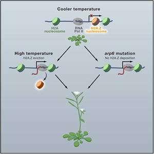 Cliquer pour agrandir. A basse température, l'ADN enroulé autour des nucléosomes à base d'histone H2A.Z est inaccessible à l'ADN polymérase. Chez les mutants déficients en cette protéine, ou sous l'effet de la chaleur qui réduit leur nombre et décompacte l'ADN, les gènes deviennent accessibles. L'expression de ces gènes définit alors la croissance de la plante en conditions chaudes. © S. Vinod Kumar et Philip Wigge / John Innes Centre