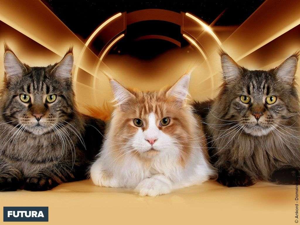 Trio de chats Maine Coon