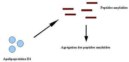 Hypothèse du rôle de l'apolipoproteine E4 dans la formation de plaques séniles. Source : M. C. Jacquier.