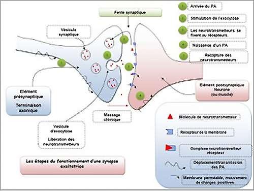 Action de la dopamine sur les neurones. © svtoiselet.free.fr autorisation/MR Morales du site