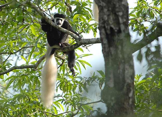 Colobe guereza en Tanzanie. © F.Roche, domaine public