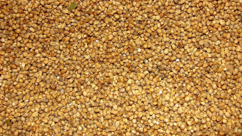 Le millet, petite céréale ronde