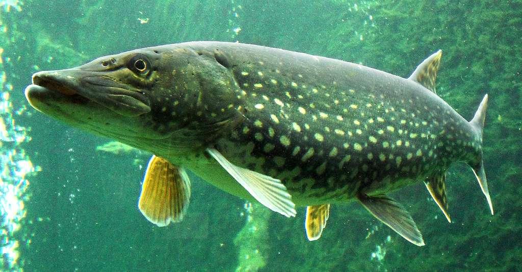 Dans la classification des poissons, le brochet fait partie des poissons osseux. © JikJik, DP