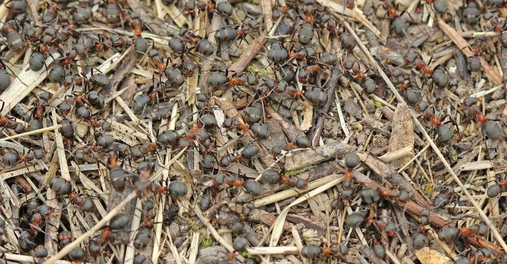 Les Formica sanguinea font partie du sous-genre Raptiformica. Elles réduisent les fourmis du sous-genre Serviformica, comme les Formica fusca, en esclavage. © Schmutzler-Schaub, Fotolia
