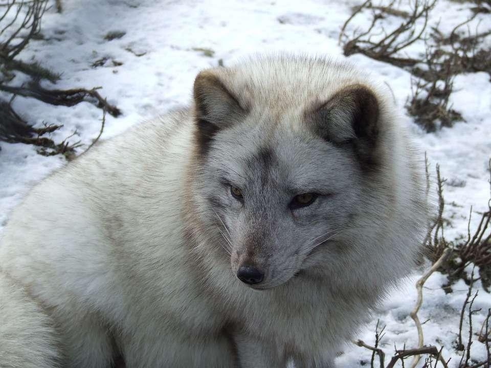 Un renard polaire, avec son pelage différent de celui du renard roux, qui lui permet de résister à des températures très basses. © Domaine public