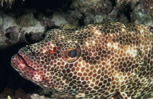 Atoll de Fakarava. Réserve de la biosphère. Mérou (Epinephelus sp.) dans sa tanière. © Photographe Alexis Rosenfeld Tous droits réservés