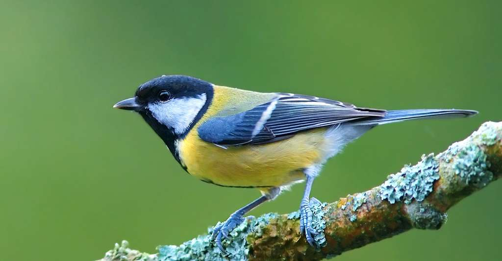 Mésange charbonnière (Parus major). © Luc Viatour, Wikimedia commons, CC by-sa 3.0