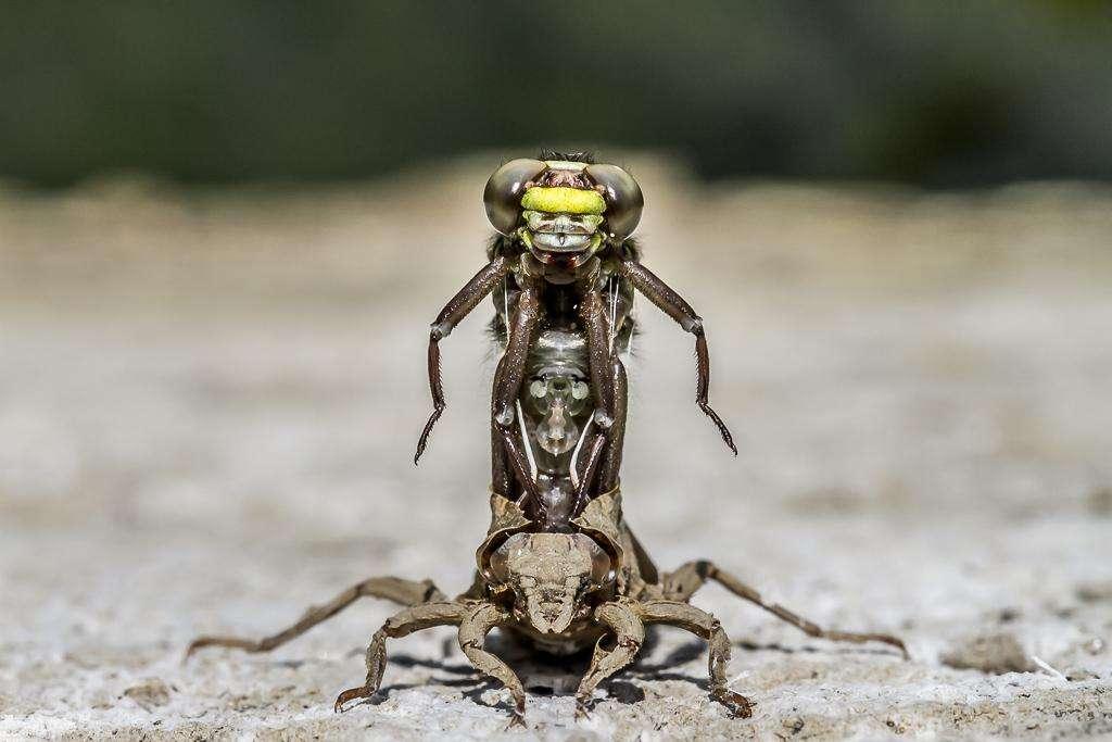 La métamorphose d'une libellule. © Stephen Darlington, BWPA 2016