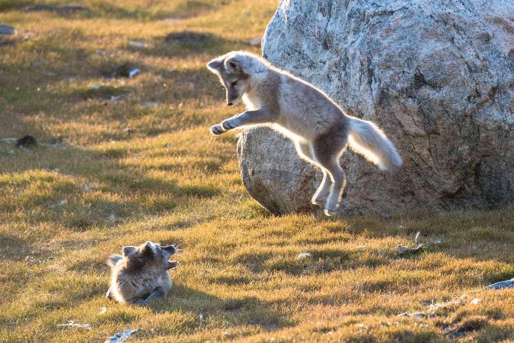 Jeunes renards isatis apprenant à chasser