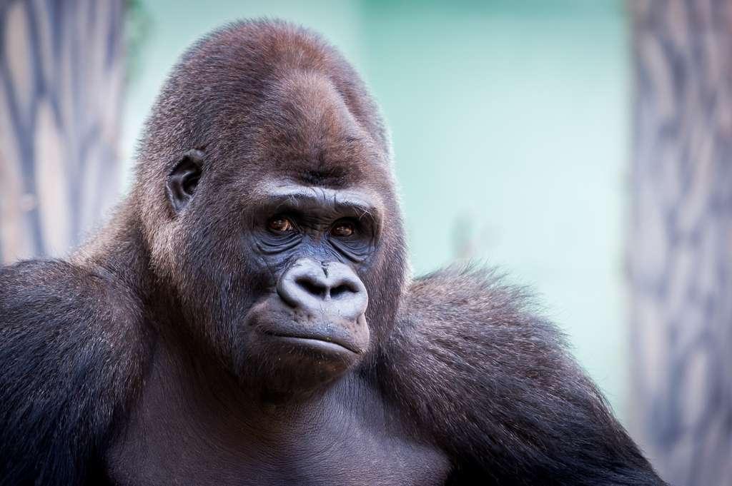 Les gorilles font partie des primates capables d'apprendre la langue des signes. © PicsArt, Adobe Stock