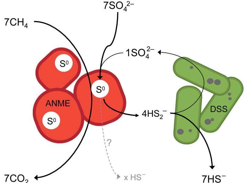 Dans le modèle présenté par l'équipe du Max Planck Institute, l'oxydation du méthane et la respiration du soufre élémentaire sont réalisées par l'archée méthanotrophique (ANME). La bactérie (DSS) fermente le soufre produit par l'archée. © Jana Milucka, MPI f. Marine Microbiology
