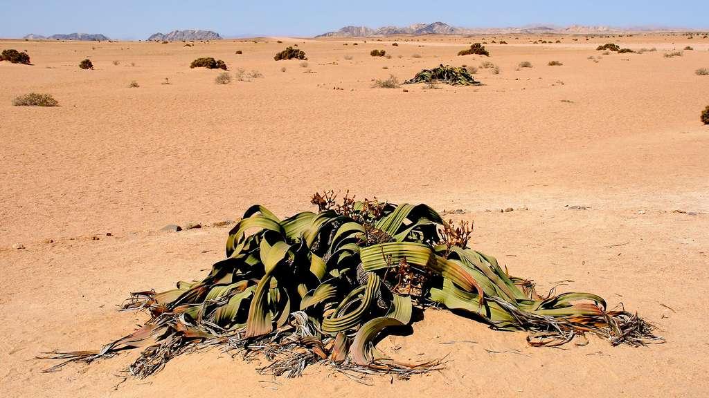Welwitschia mirabilis, une plante à nulle autre pareille