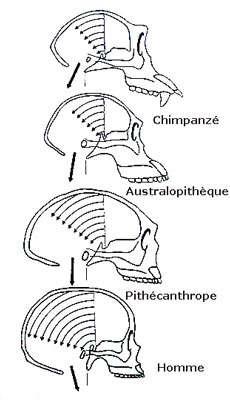 Évolution du crâne du singe à l'Homme. © DR