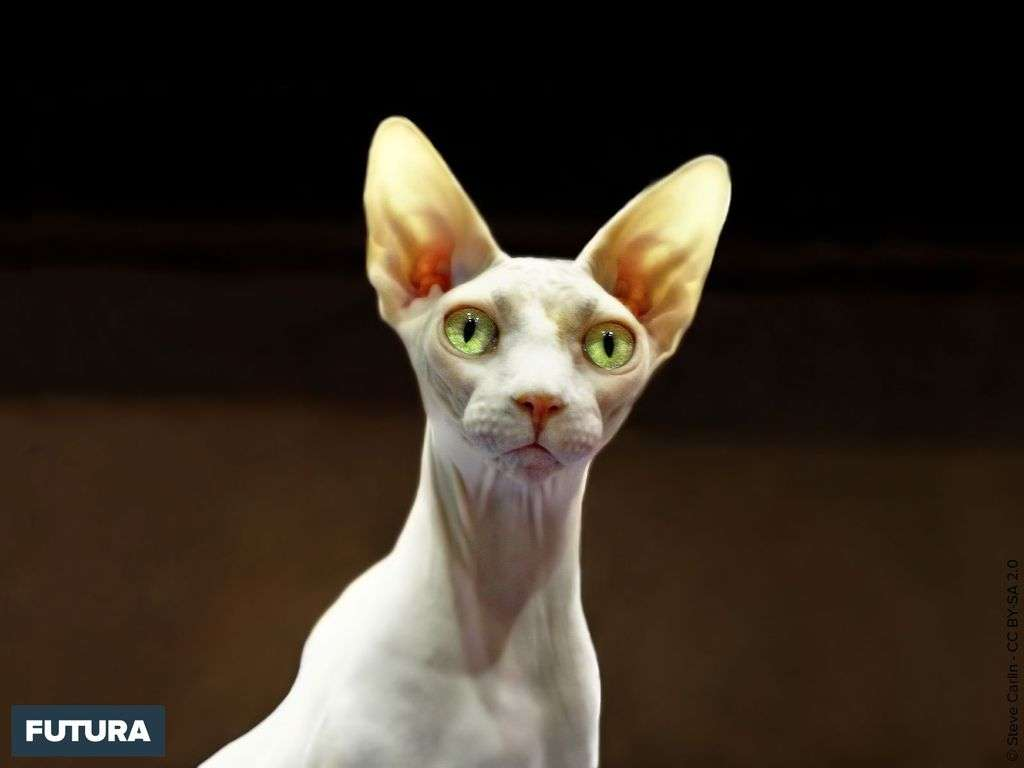 Chat Sphynx, fascinant par son élégance, sa peau douce et chaude.