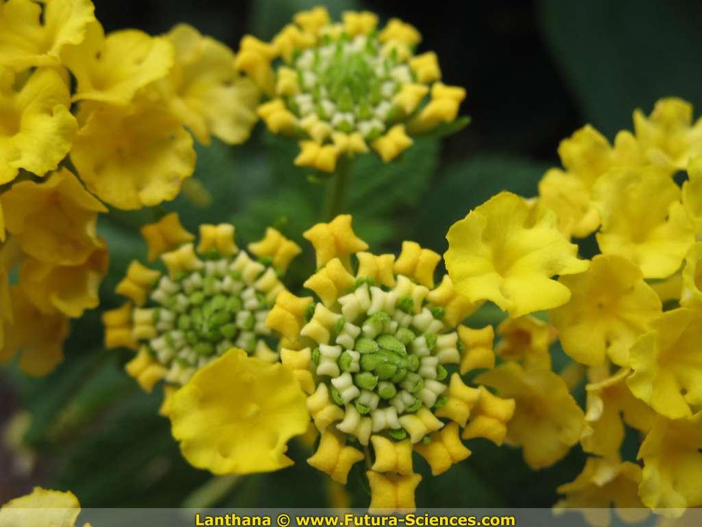 Lanthana jaune