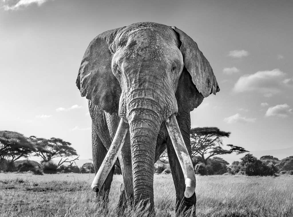 Éléphant d'Afrique, parc national d'Amboseli, Kenya. © Harry Skeggs, World Nature Photography Awards