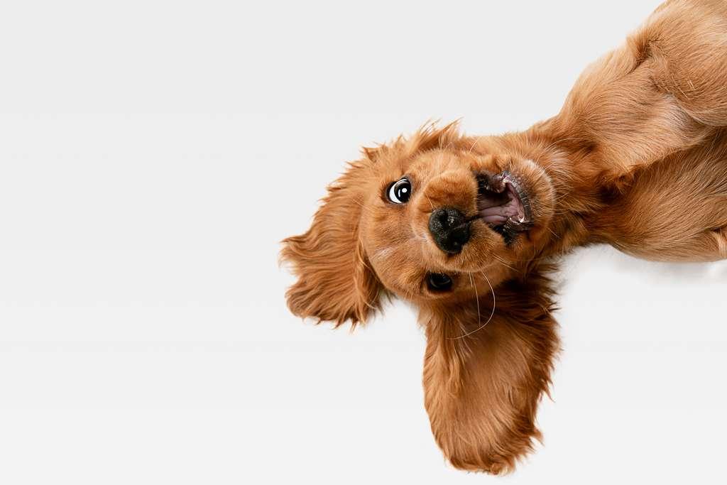 Le chien ne serait pas la première espèce domestiquée par l'humain. Il pourrait être détrôné par... l'humain lui-même. © Master1305, Adobe Stock