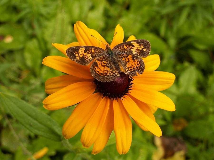 Les rudbeckias attirent les papillons. © Cbaile19, Domaine Public