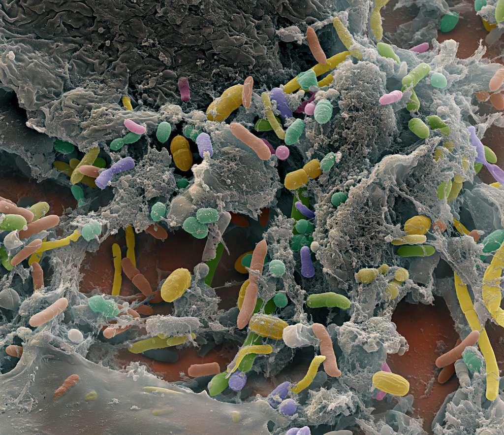 La foule bactérienne de l'intestin