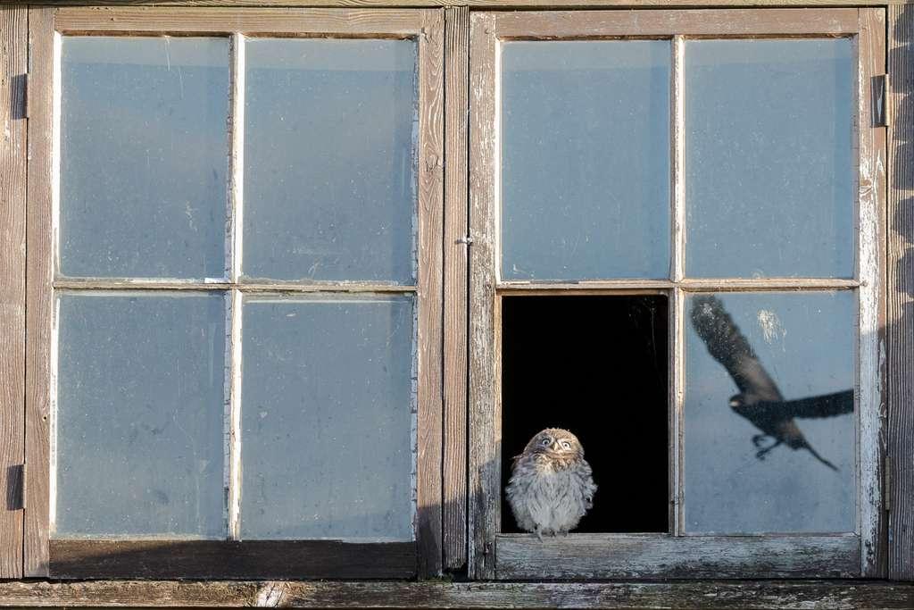 Le départ de la chouette, Royaume-Uni. © Paul Holman, Nature TTL