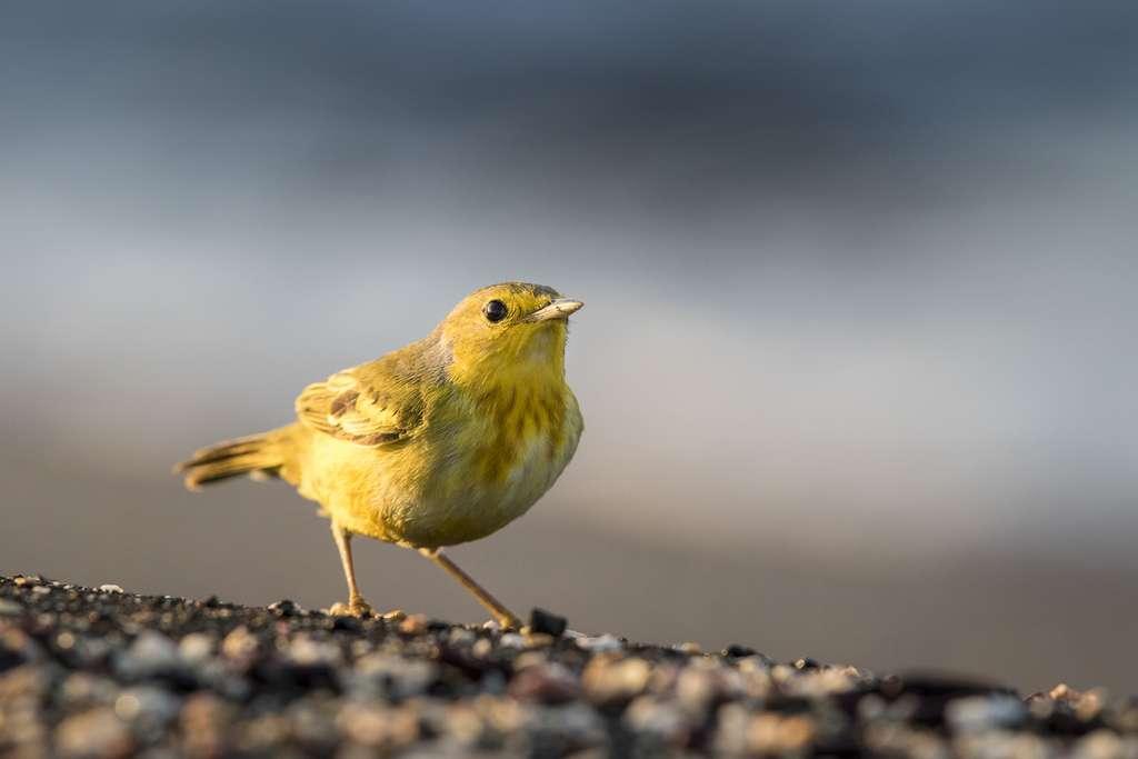Une grande variété d'oiseaux peut être observée comme cette paruline jaune (Setophaga petechia). © Maxime Aliaga, tous droits réservés