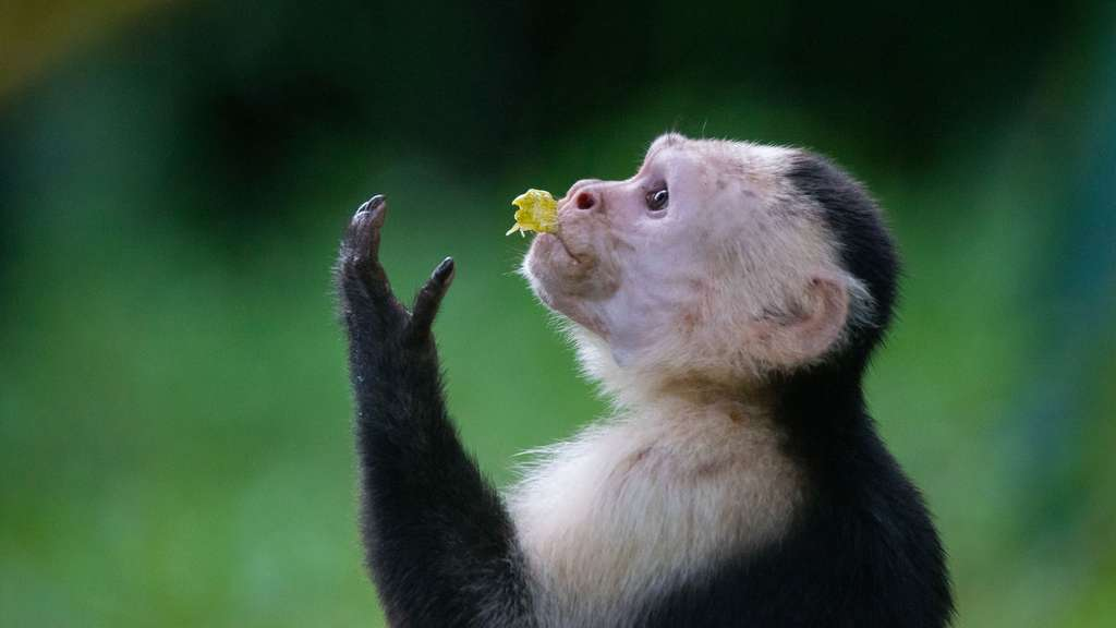 Le sapajou capucin ou capucin à face blanche du Panama