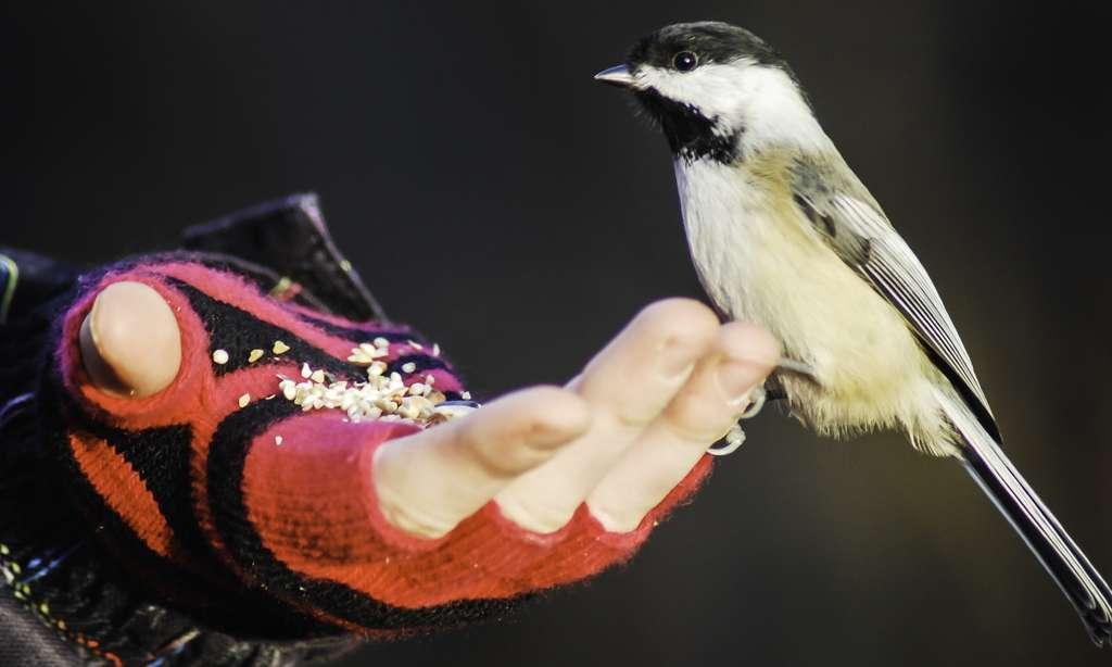 65 % des personnes qui nourrissent les oiseaux sauvages déclarent que cela leur permet de se détendre, 61 % remarquent que cela les aide à mieux connaître les oiseaux et 21 % y voient une expérience éducative pour leurs enfants. © Mohayg, Pixabay, CC0 Creative Commons