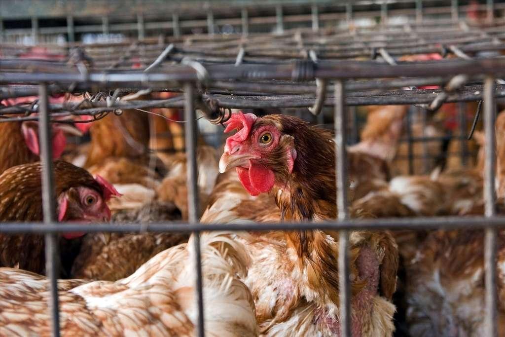 L'herpèsvirus responsable des trachéites chez le poulet tue 18 % des oiseaux qu'il infecte. Ceux-ci vivant souvent à proximité les uns des autres, la contagion risque vite de se répandre, surtout avec ce nouveau variant, qui saute plus facilement d'un animal à l'autre que la forme trouvée originellement dans la nature. © Anna Strumillo, Fotopédia, cc by nc nd 3.0