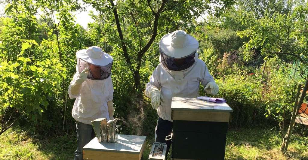 Apiculteurs soignant les ruches. © MkerijHaarlem - Domaine public