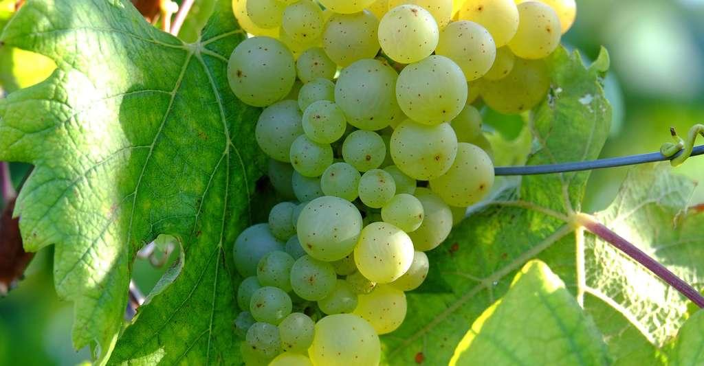 Les chinons sont des vins du Val de Loire. © Music4life, Domaine public
