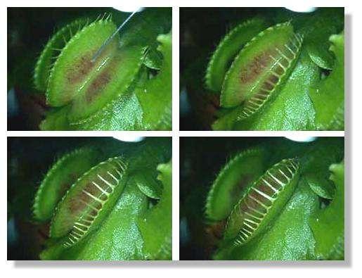 Figure 17. Fermeture des mâchoires d'une feuille de Dionée. 4 photographies sélectionnées dans une séquence vidéo. Plusieurs secondes séparent la première et la dernière photographie. © Biologie et Mulitmedia