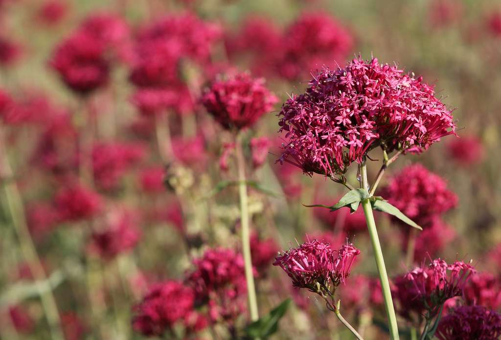 La valériane des jardins (Centranthus ruber). © Ingeborg van Leeuwen, Flickr