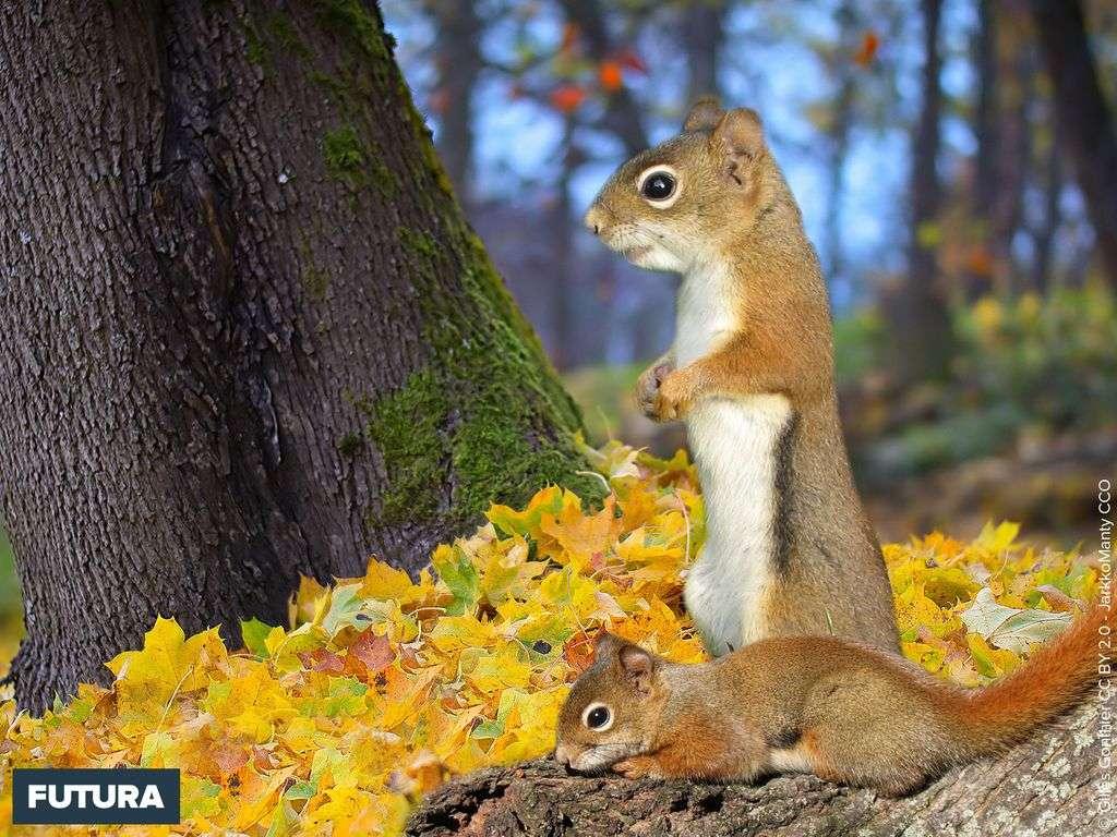 Ecureuil roux nord américain