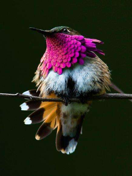 Le colibri à gorge rubis, étonnant !