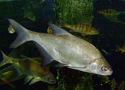 La brème se trouve dans les eaux calmes ; les brochets et perches apprécient également ce biotope. © Lvova, DP