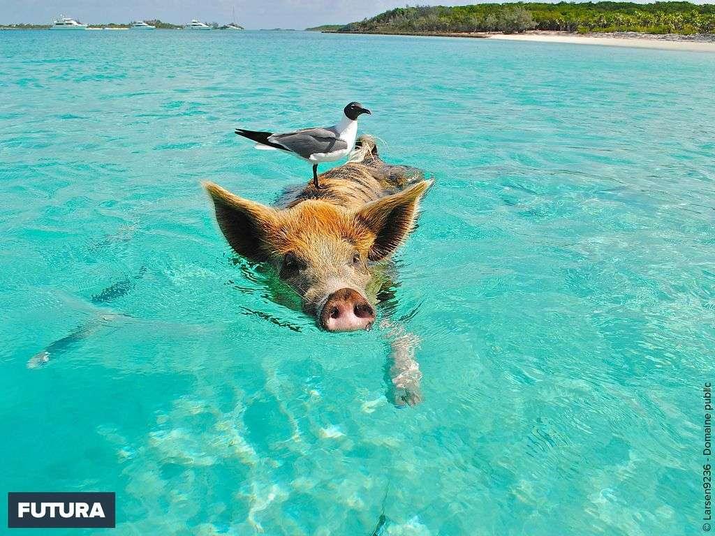 Bahamas, les cochons nageurs