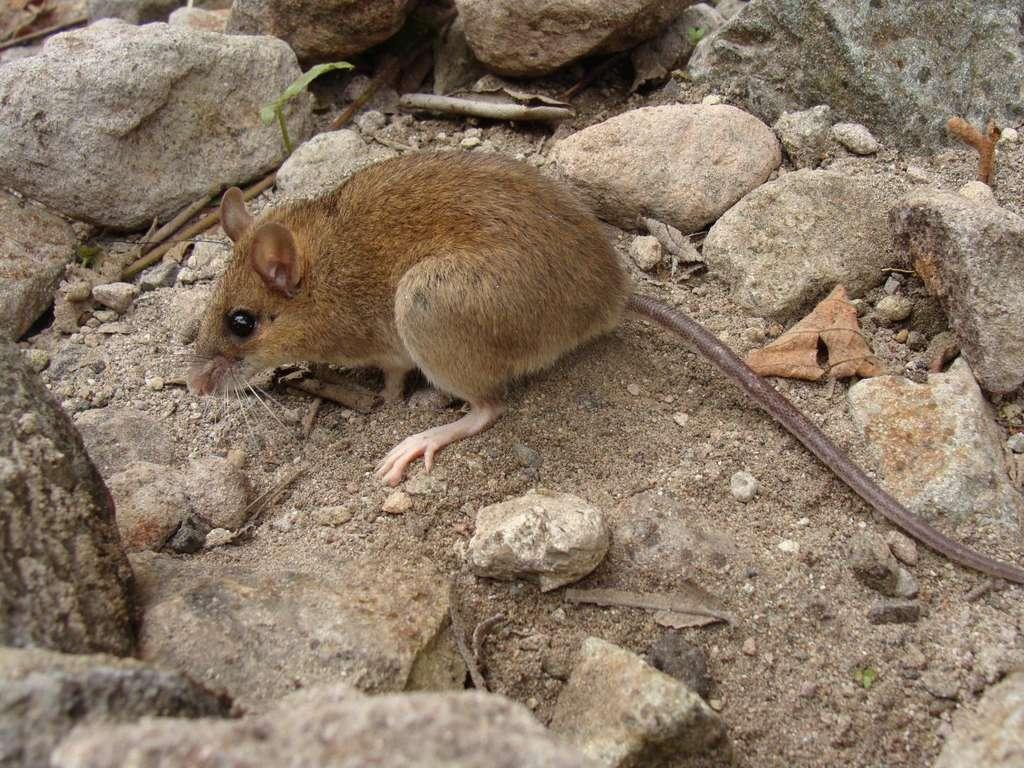 Apomys sacobianus est considérée comme une spécialiste des perturbations. Ce qui signifie qu'elle résiste à de grands changements dans son environnement. © Danny Balete, Field Museum